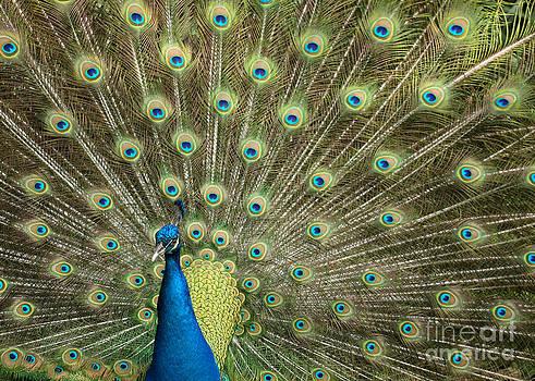 Sabrina L Ryan - Glorious Peacock Feathers
