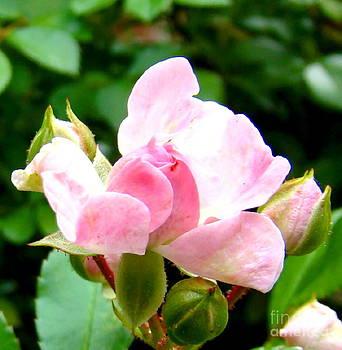 Glorious Rosebud by Leea Baltes