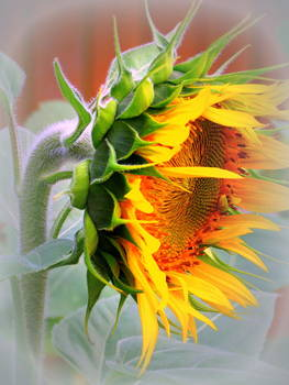 Glorious Sunflower by Kay Novy