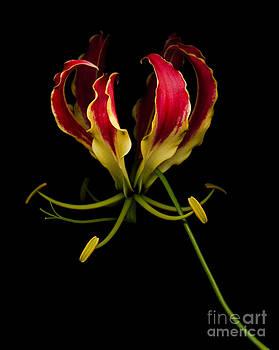 Oscar Gutierrez - Glory Lily