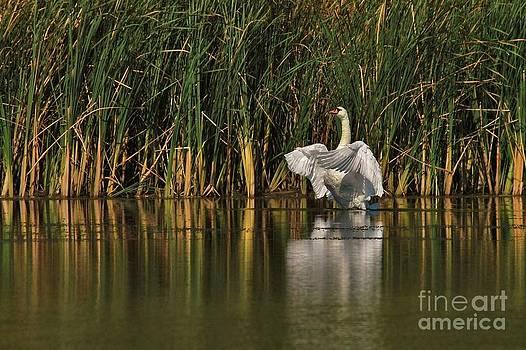 Joy Bradley - Glory of a Mute Swan