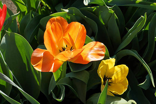 Baslee Troutman - Glowing Orange Tulip Flower Art Prints