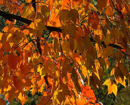 Glowing Sunset Maple by Melany Raubolt