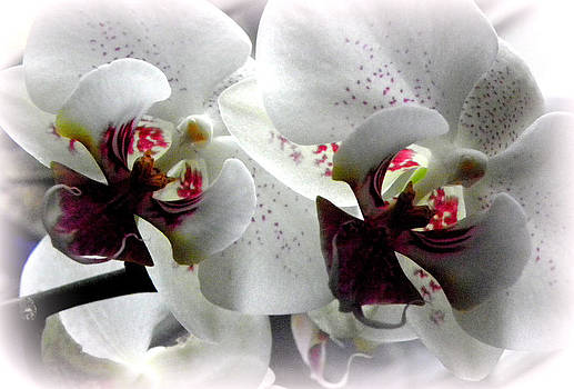 Glowing White Orchids by Kim Galluzzo Wozniak