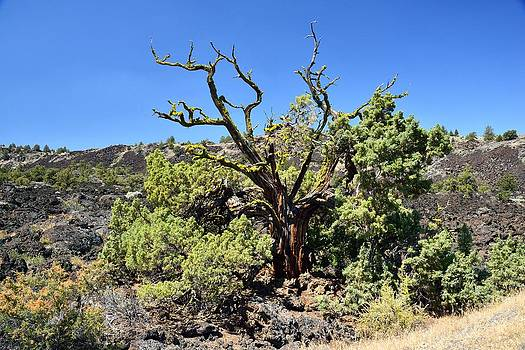Gnarled Tree on the Lava Beds by Rich Rauenzahn