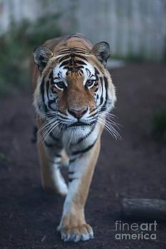 Go get 'Em Tiger by Brenda Schwartz