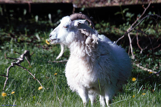 Goat and Dandelion by Ed Nicholles