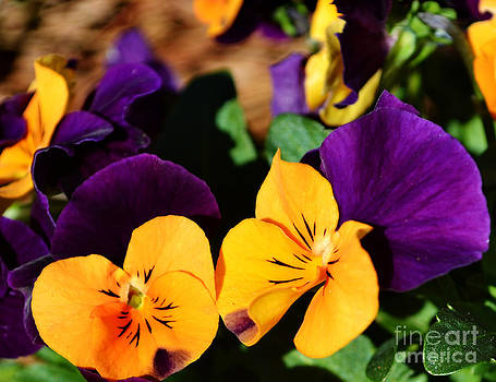 Gold and Purple Pansies by Eva Thomas