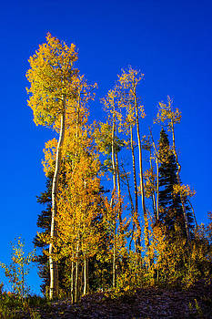 Golden Aspens by Kim Baker