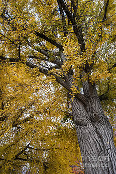 Golden autumn Ginkgo leaves 1-1113 by Steven Foster
