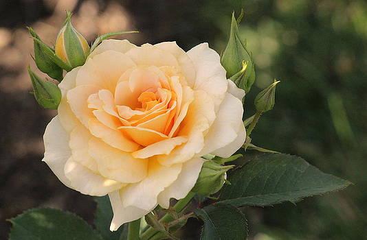 Rosanne Jordan - Golden Day Rose