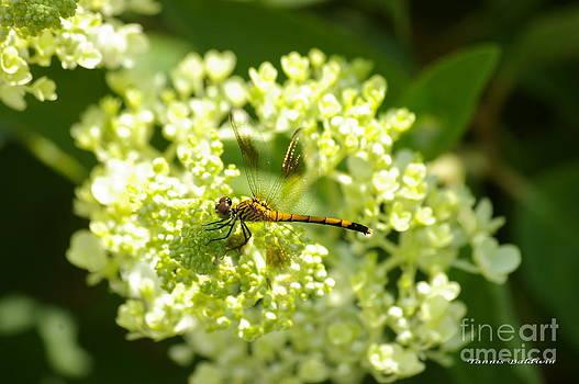 Tannis  Baldwin - Golden dragonfly