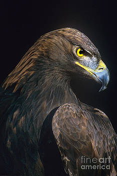Dave Welling - golden eagle aquila chrysaetos captive colorado