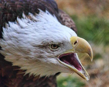 Golden Eagle by Gene Praag