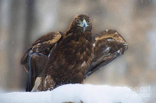 Dan Friend - Golden eagle looking straight
