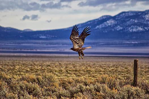 Golden Eagle by Michael Rogers