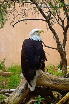 Robert Meyers-Lussier - Golden Eagle Profile