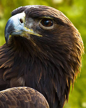 Golden Eagle by Robert L Jackson