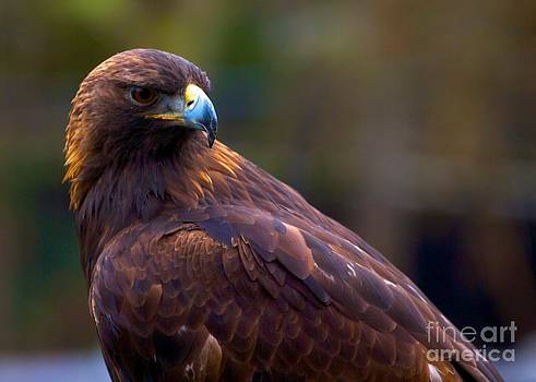 Golden eagle by Terry Horstman