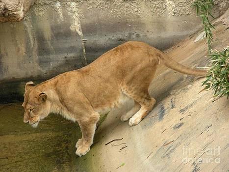Golden Fur Lioness Version 1  by Joseph Baril