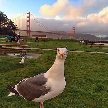 Golden Gate Background, Seagull Up Close by Karen Winokan