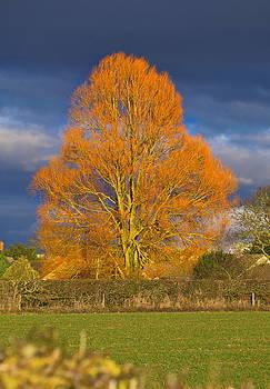Paul Gulliver - Golden glow - Sunlit Tree