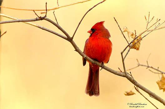 Randall Branham - Golden Glow Crimson Cardinal