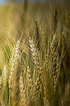 Golden Grain by Randy  Shellenbarger