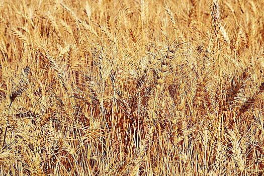 Michelle Calkins - Golden Grains