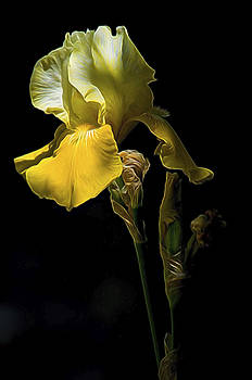 Golden Iris by William Horden
