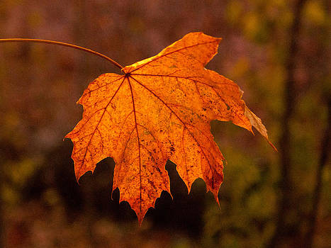 Golden Leaf by David Frankel