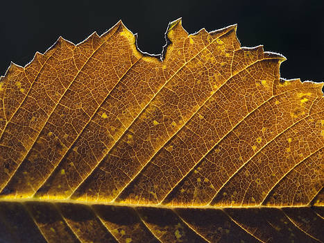 Alan Roberts - Golden Leaf Up Close