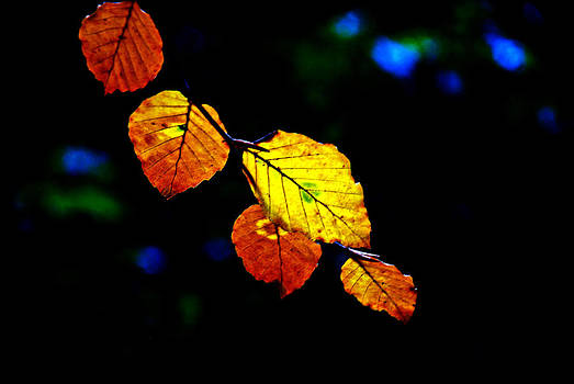 Golden Leaves by Frank Gaffney