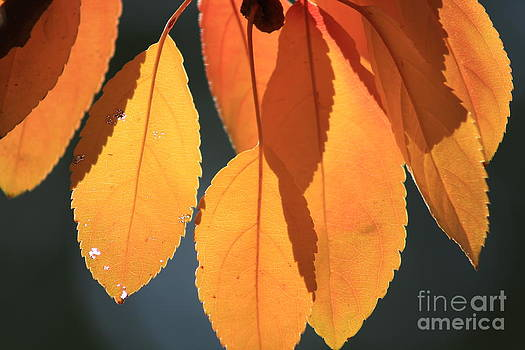 Golden Leaves with Golden Sunshine shining through them by Robert D  Brozek