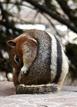 Susan Leake - Golden Mantled Ground Squirrel