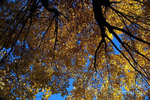 Linda Shafer - Golden Maple 8