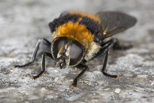 Golden Northern Bumble Bee by Dora Korzuchowska