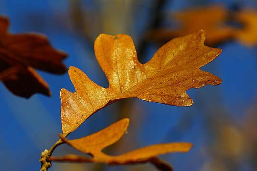 Golden Oak by Jann Kline