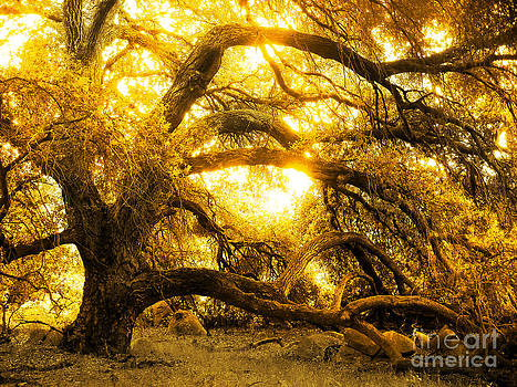 Golden Oak  by Robert Ball