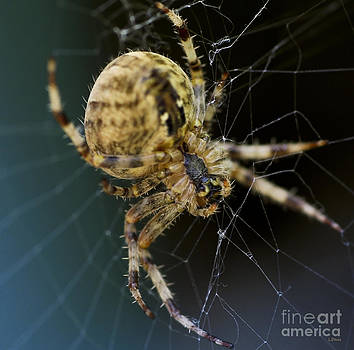 Golden Orb Spider by Wobblymol Davis