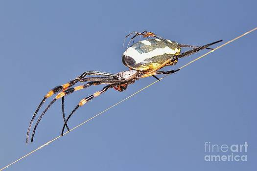 Hermanus A Alberts - Golden Orb Web Weaver Spider and Baby