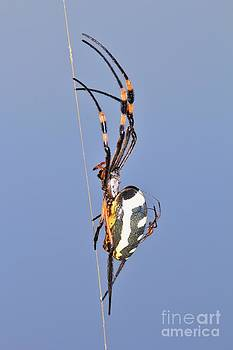 Hermanus A Alberts - Golden Orb Web Weaver Spider and Youngster