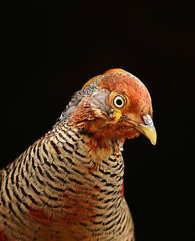Golden Pheasant by Gillian Dernie