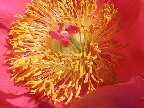 Golden Pink by Don Pettengill