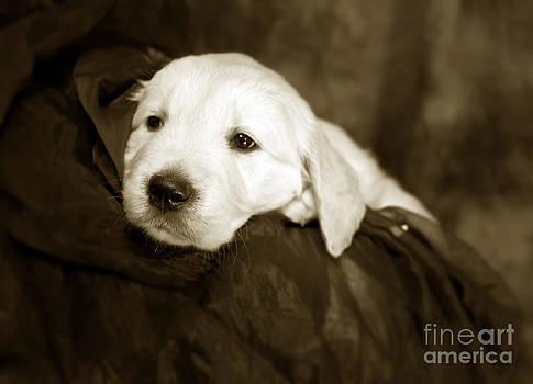 Angel Ciesniarska - Golden retriever pup