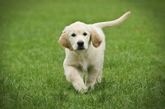 Waldek Dabrowski - Golden retriever puppy
