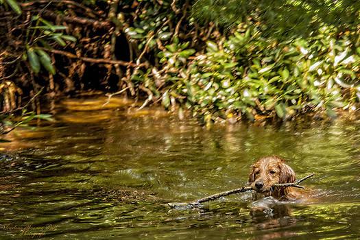 Darlene Bell - Golden Retriever Swimming