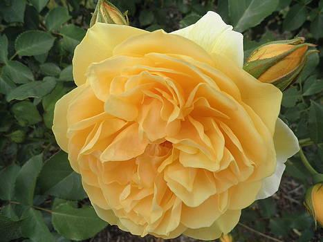 Kate Gallagher - Golden Rose And Rosebuds