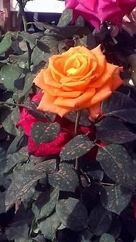 Usha Shantharam - Golden Rose