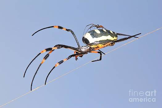 Hermanus A Alberts - Golden Spider and Baby Transport in Nature